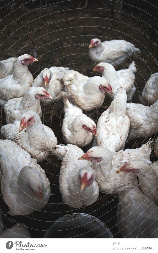 gedränge Tier trist Tiergruppe Bauernhof eng Nutztier Haushuhn Stall