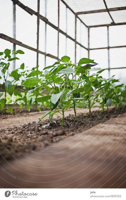 paprika Gartenarbeit Natur Pflanze Grünpflanze Nutzpflanze Paprika ästhetisch Gesundheit natürlich Gewächshaus züchten Farbfoto Innenaufnahme Menschenleer