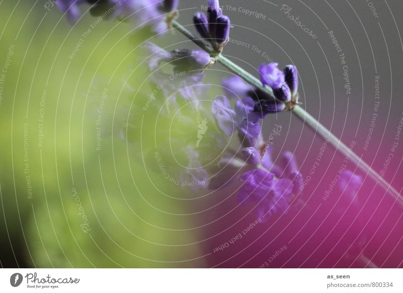 komplementär III Kräuter & Gewürze Lavendel Umwelt Natur Pflanze Sommer Herbst Blüte Garten Blühend Duft Wachstum gelb violett rosa Leidenschaft Treue Romantik