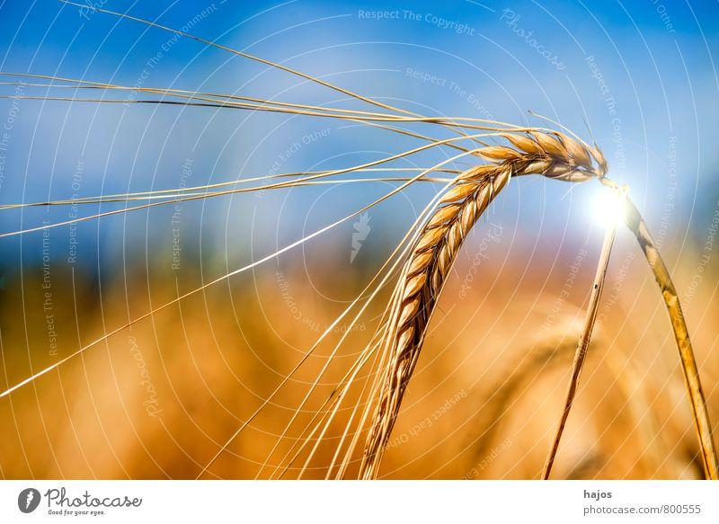 Gerste, einzelne Ähre mit Sonnenreflex Himmel blau Pflanze Sommer Wolken Leben Lebensmittel Feld Landwirtschaft Getreide Stengel Halm Ackerbau reif Samen