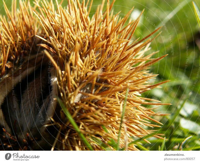 IgelSchneckenFrucht Natur Baum Haus Herbst Wiese Gras Umwelt Schutz Samen Schalen & Schüsseln Hülle Stachel Dorn Versteck Abdeckung Absicherung