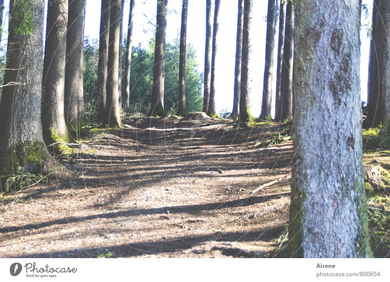 Zwischenräume Pflanze Baum Landschaft Wald Wege & Pfade grau Holz Linie braun Ordnung Erde Fußweg Baumstamm Moos vertikal gestreift
