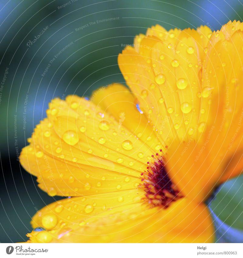 auf Regen folgt Sonnenschein... Umwelt Natur Pflanze Sommer Blume Blüte Ringelblume Blütenblatt Park Blühend Wachstum ästhetisch frisch schön klein nass