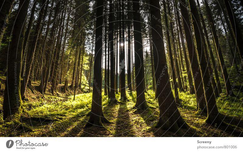 Eifelwald Natur Landschaft Pflanze Sonne Sonnenlicht Frühling Sommer Schönes Wetter Baum Gras Farn Wald Vulkaneifel Wachstum groß braun gelb gold grün Stimmung