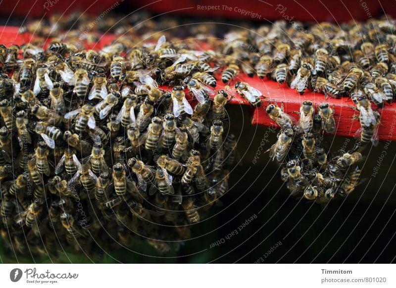Gruppenfeeling | vermute ich ... Natur rot Tier schwarz dunkel Gefühle natürlich Holz Tiergruppe einfach Zusammenhalt Biene Schwarm hängend Bienenstock