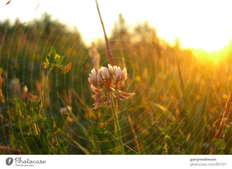 Gräserblühen im Sonnenuntergang Natur grün Herbst Blüte Gras Idylle