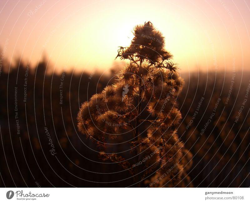 Kuschelblume im Sonnenlicht Sonnenuntergang Blume Halde Idylle Licht Pflanze Geborgenheit rosa Industriekultur Makroaufnahme Nahaufnahme Herbst Himmel Farbe