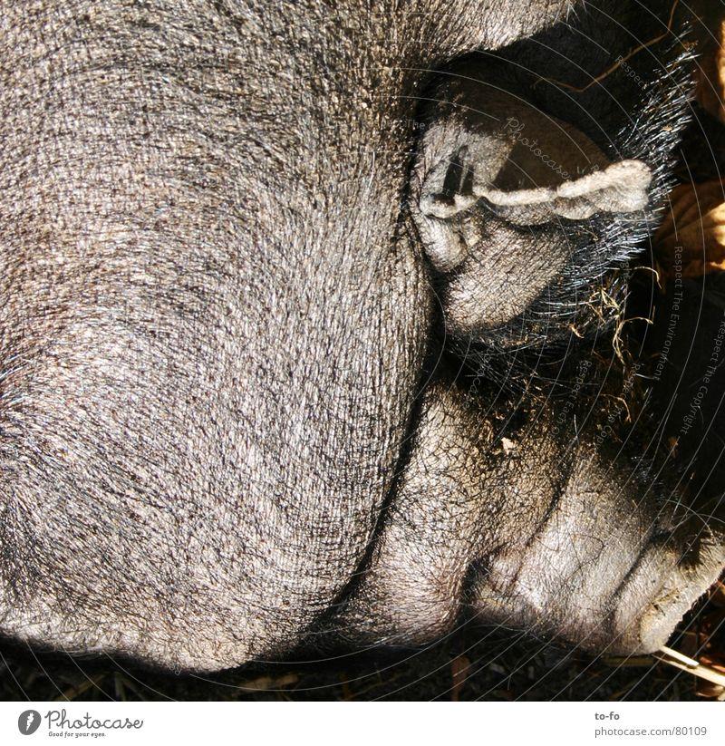 Schwein Tier Borsten Rüssel dick tierisch anstößig Vieh Säugetier Ohr Fett lustig Glück borstig Falte
