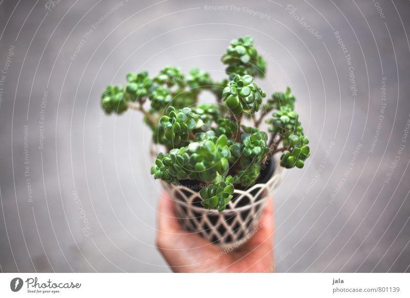 zimmerpflanze Pflanze Hand feminin ästhetisch Grünpflanze Zimmerpflanze Topfpflanze Sukkulenten
