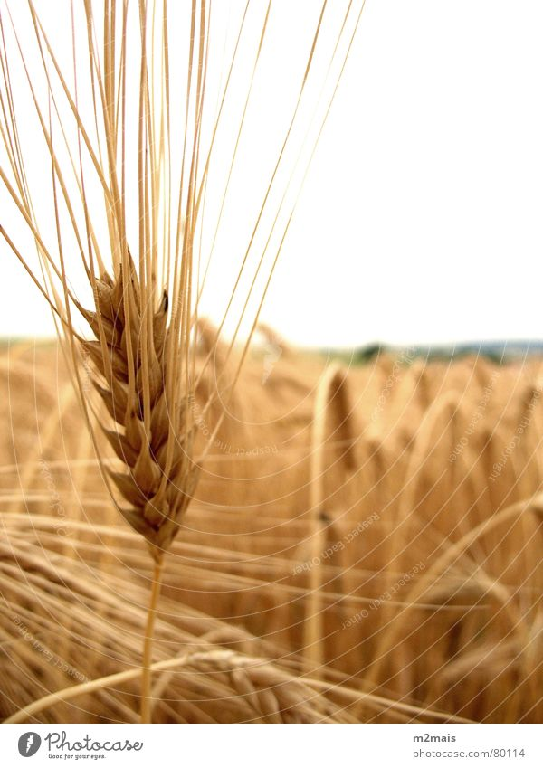 Espiga de trigo Länder Gastronomie pão comida espiga de trigo rural agricultura plantação campo rural area country