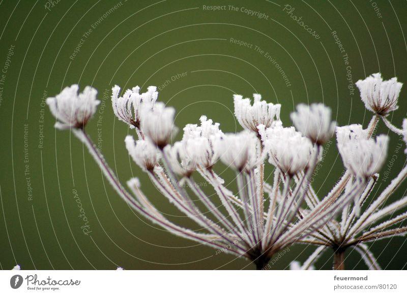 Mr. Frosty was here schön Blume grün Pflanze Winter kalt Schnee Blüte Garten Eis Jahreszeiten Raureif filigran ungemütlich Puderzucker