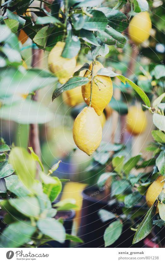 Zitronenbaum Lebensmittel Lifestyle Duft Freizeit & Hobby Ferien & Urlaub & Reisen Tourismus Ausflug Umwelt Natur Pflanze Sommer Baum Blatt Grünpflanze