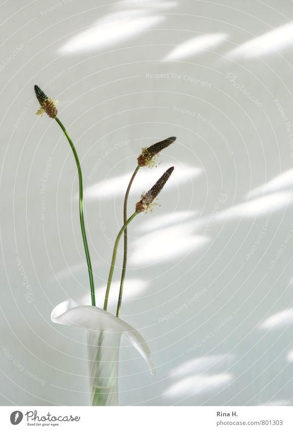 Drei Grazien weiß Stil hell elegant ästhetisch einfach Stengel Stillleben Leichtigkeit Samen Vase Wildpflanze dehydrieren