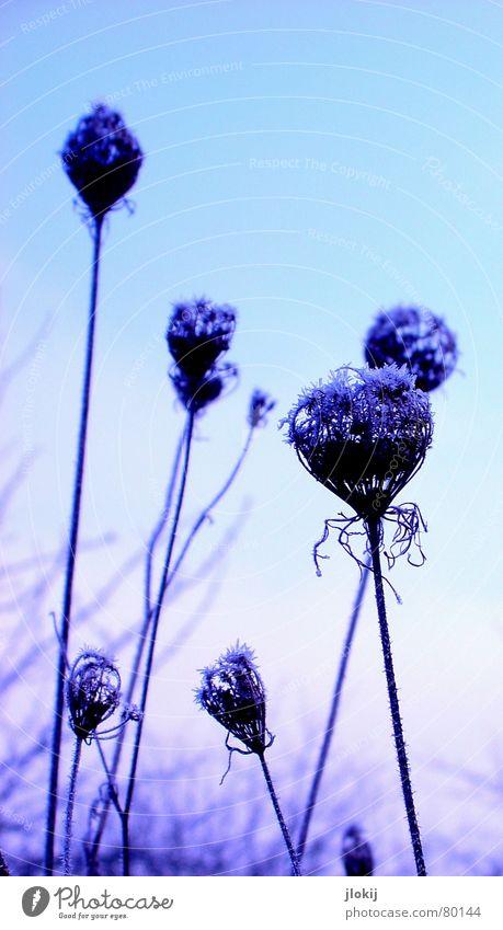 Frozen Violett Winter Raureif violett kalt Wiese Ähren gefroren frieren Jahreszeiten Blume Blüte zart zerbrechlich weich hell-blau Frost frostgefühl kältegefühl