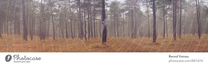 Lieblingswald Wald Kiefer Licht Außenaufnahme Tiefenschärfe Nebel Dunst einzeln Gras Panorama (Bildformat) Baumrinde schön verträumt ruhig Erholung Spaziergang