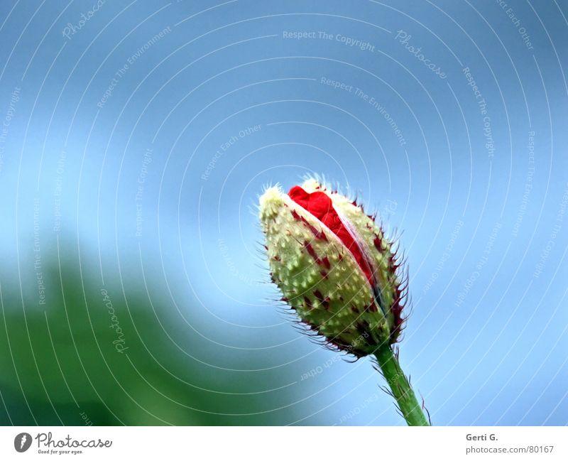 poppy day Klatschmohn geplatzt aufgebrochen Frühling Blüte Grünpflanze Blume Mohn rot zart stachelig offen grün knallig mehrfarbig frisch Fröhlichkeit Blühend