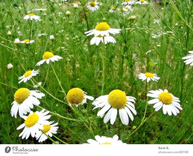Märchenwiese Natur Sommer Blume gelb Duft Blütenblatt Gänseblümchen Margerite Versuch Blumenwiese Heilpflanzen Zerreißen Kamille Orakel Liebesgruß