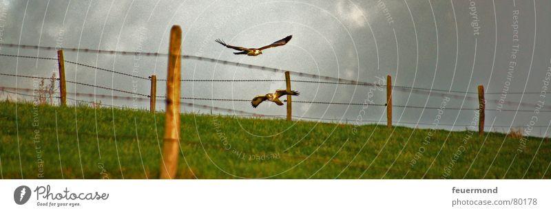 Flug ins Jahr 2007 Greifvogel Vogel Tier Wiese Zaun Unwetter gefährlich Vogeljagd flattern Weide fliegen Freiheit Luftverkehr Jagd Himmel Gewitter vogelfang
