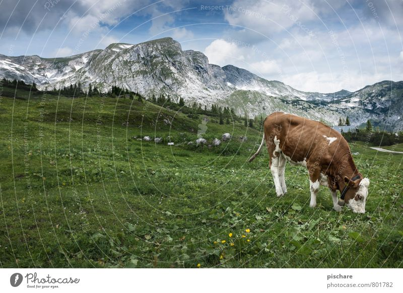 Fleckvieh Natur Landschaft Wiese Berge u. Gebirge Nutztier Kuh 1 Tier Fressen Klischee Idylle Alm Heimat Österreich Farbfoto Außenaufnahme Menschenleer