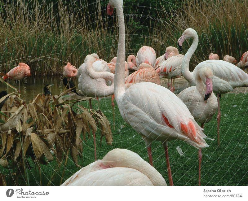 Flamingo im Zoo Flugtier Besucher Tier Wiese grün Grünfläche Zugtier Zoologie Tiergarten Gras weiß Säugetier einbeinig Wasser Küste Rasen Mauer