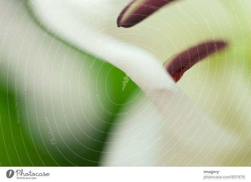 Das Gespür für Lilien elegant Design harmonisch Natur Pflanze Sommer Blume Blüte Garten Park ästhetisch exotisch schön grün weiß Romantik Hoffnung Blütenstempel