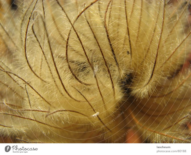 Getrocknete Blüte Blume trocken getrocknet Strukturen & Formen beige hellbraun Stengel Herbst Blütenstiel Dürre Gänsehaut Naturphänomene Blütenstempel perfekt