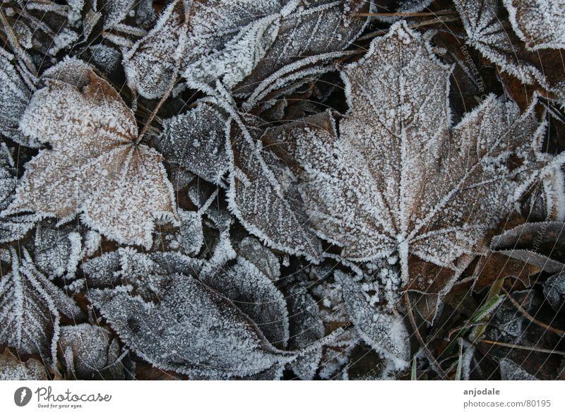 Winterlaub Natur Erde Eis Frost Pflanze Blatt Traurigkeit hell kalt braun weiß Trauer Tod Vergänglichkeit Ahorn Kanada Raureif Zucker eisig kalt Farbfoto