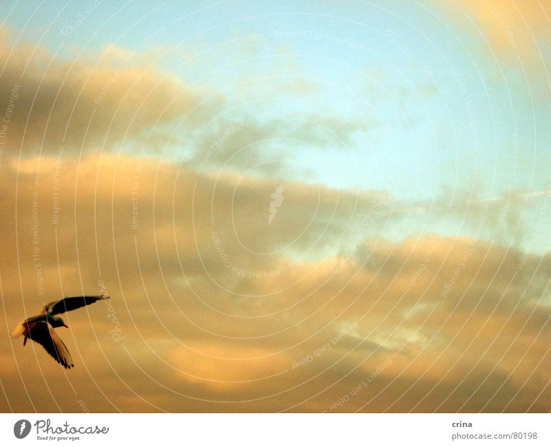 muss fliegen schön sein... Möwe Wolken Strand Meer grau Vogel Luftverkehr Spannweite Tragfläche Rostock Warnemünde Küste Himmel blau orange Feder Ostsee