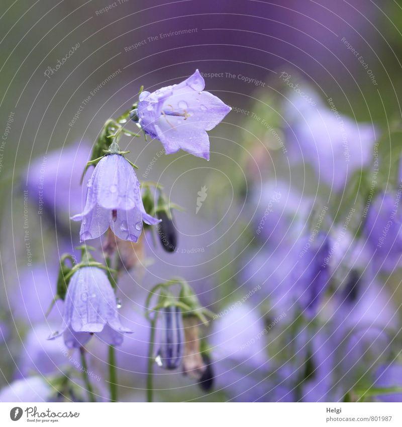 Glöckchen... Umwelt Natur Pflanze Sommer Regen Blume Blüte Glockenblume Blütenknospen Garten Blühend hängen Wachstum ästhetisch schön klein nass natürlich grün