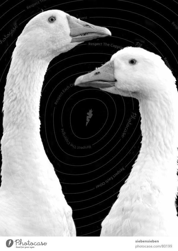 zweifach zutraulich Feder Zusammensein Gans Vogel Schnabel 2 Spiegelbild Daunen mögen Blick Wertschätzung Ackerbau Federvieh Landwirtschaft Ornithologie