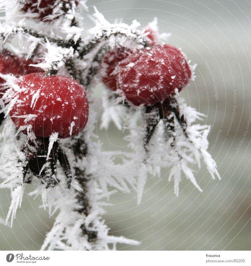 eisige heckenrose gefroren kalt Trauer Raureif Dezember Pflanze Winter Botanik Tod Eis Pflanzenteile Schnellzug Eiskristall Wildpflanze Weihnachten & Advent