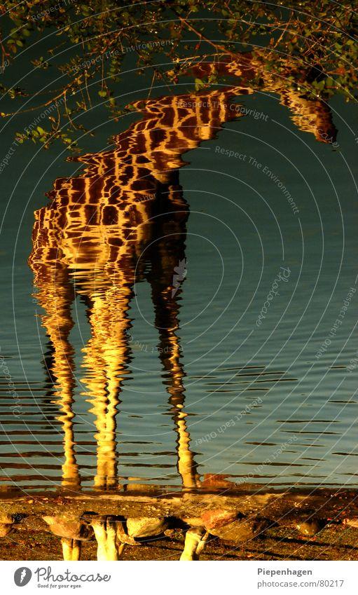 crazy horse Kontinente Safari Reflexion & Spiegelung See Pferd gelb grün türkis Schnauze Bach Teich verstört Afrika Tier Park Zoo Sträucher braun Sommer Herbst