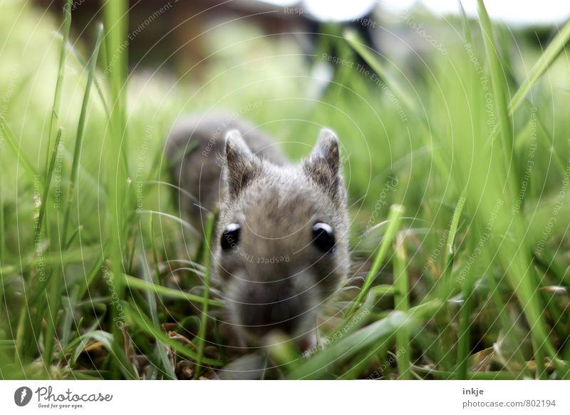Allen Unkenrufen zum Trotz... Natur Landschaft Pflanze Tier Frühling Sommer Gras Garten Wildtier Maus Tiergesicht 1 beobachten krabbeln Blick nah Neugier