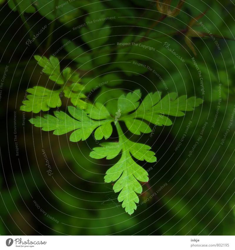 Grünzeug Natur Pflanze Frühling Sommer Blatt Grünpflanze Garten Park Wachstum frisch natürlich grün Umwelt Farbfoto Außenaufnahme Nahaufnahme Detailaufnahme