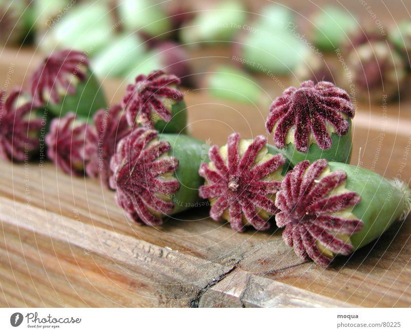 Mohnkapseln Samen Pflanze Blüte Blume Wiese Feld Sommer samtig rot grün trocknen Stillleben Waldwiese Botanik Mohnfeld Pflanzenteile Blütenblatt Dorfwiese