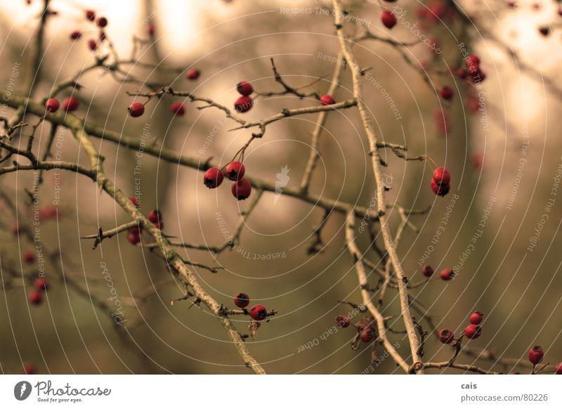 Dezemberbeeren Baum rot Winter kalt Herbst Garten Park Sträucher Beeren Dornbusch