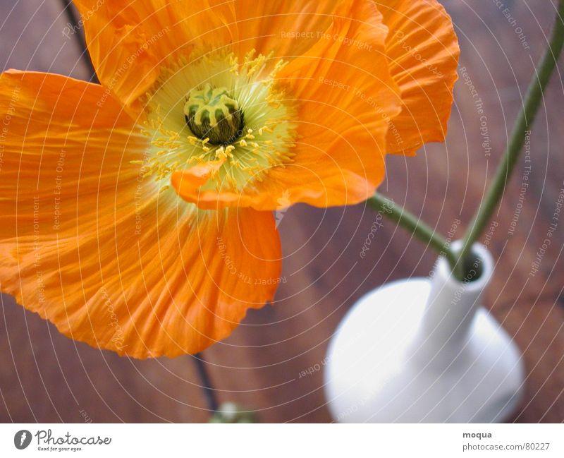 voll aufgeblüht Mohn Pflanze Blüte Blume Wiese Feld Sommer samtig gelb grün Vase Stillleben Holz Tisch braun Vogelperspektive Stengel Pollen Botanik Holztisch
