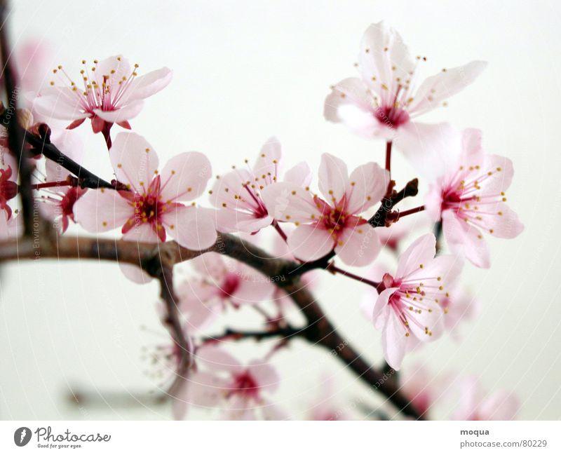 kirschblüte Kirschblüten Kirsche rosa rot harmonisch Japan Frühling zart Blütenblatt ästhetisch edel zierlich Anmut Makroaufnahme Nahaufnahme sakura kirschzweig