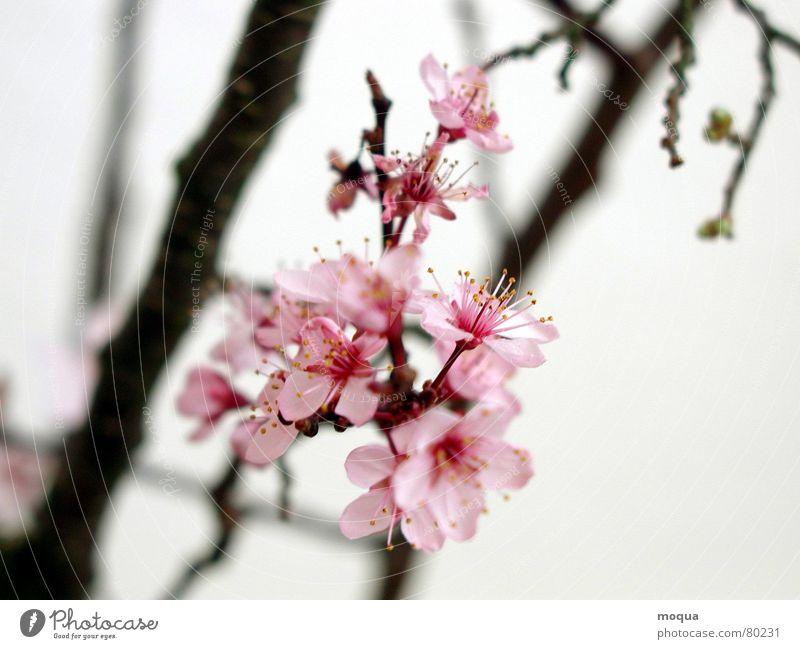 kirschblüte schön rot Frühling Garten Park Zufriedenheit rosa Beginn ästhetisch Ast zart Japan edel harmonisch Zweig Kirsche