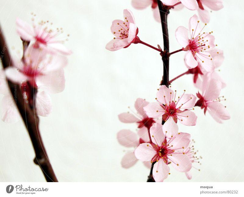 kirschblüte Kirsche rosa rot harmonisch Japan Frühling zart Blütenblatt Kirschblüten Beginn Zufriedenheit Anmut ästhetisch edel Makroaufnahme Nahaufnahme Garten