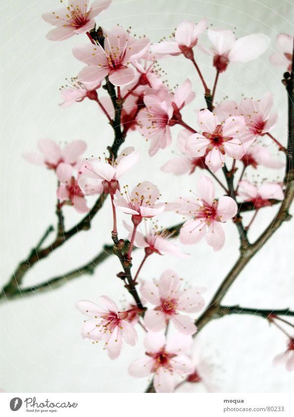 kirschblüte schön rot Frühling Garten Park rosa Beginn Makroaufnahme Ast zart Japan edel Frucht harmonisch Zweig Kirsche