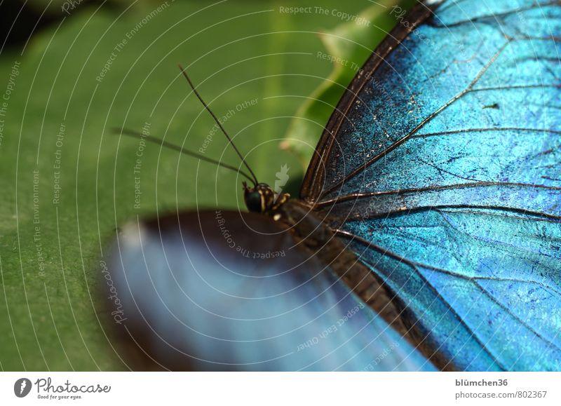Er hat die Flügel schön! Tier Wildtier Schmetterling Insekt Bewegung fliegen sitzen ästhetisch außergewöhnlich elegant exotisch klein blau schillernd hocken