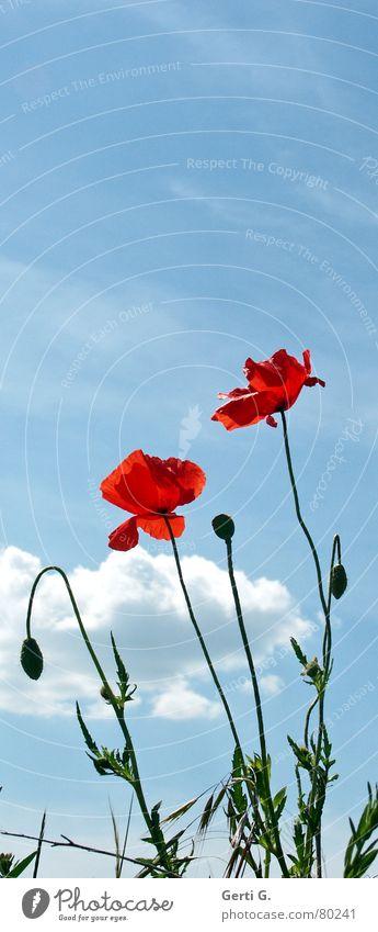 pop pies mehrere Klatschmohn geplatzt aufgebrochen Blume Mohn rot zart stachelig offen grün Feld knallig mehrfarbig frisch Fröhlichkeit Wolken himmelblau Blüte