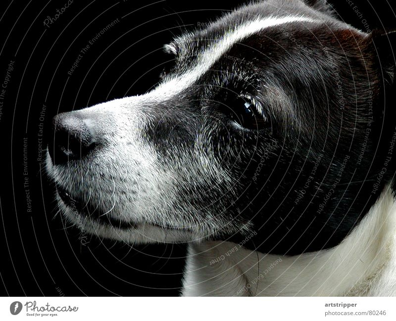 snoopdog Jagdhund Terrier Wachsamkeit niedlich süß Hundekopf Fell achtsam Konzentration Tier geschmackvoll wach gehorsam Säugetier Hirtenhund schön