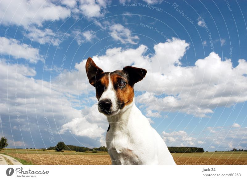 Carlos in the Wind Hund Jack-Russell-Terrier süß Himmel Wolken Welpe Sturm weiß Feld Flur Herbststurm Säugetier blau sky dog dogs life hundeleben Nase blow