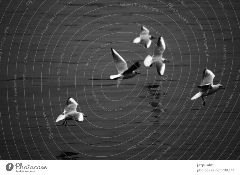 tiefflieger Tiefflieger 5 Vogel fliegen Wasser Fluss mehrere Dynamik Bewegung möve Schwarzweißfoto