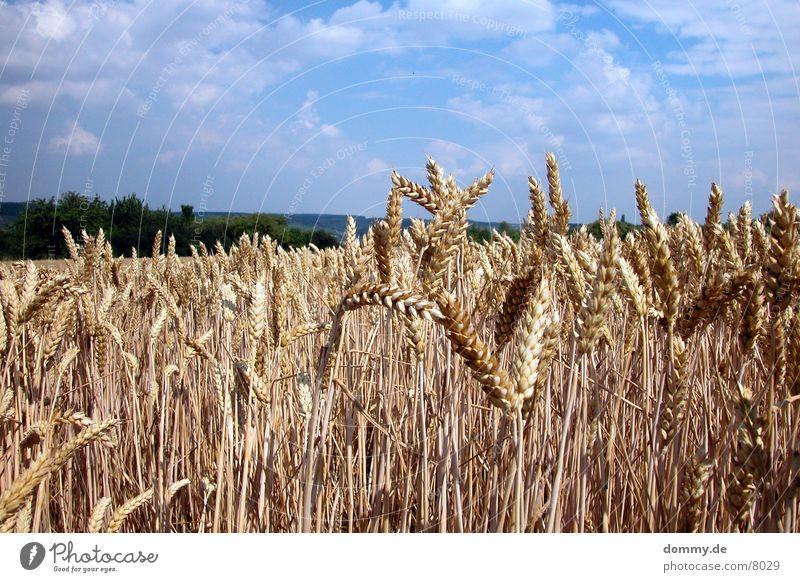 Getreide Feld Getreide Amerika Franken Würzburg