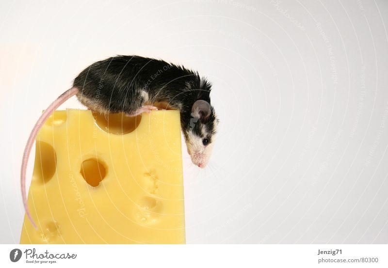 Gipfelstürmer. Tier Lebensmittel Ernährung Fressen Abendessen Haustier Maus Säugetier Käse Nagetiere Milcherzeugnisse Gouda Schnittkäse
