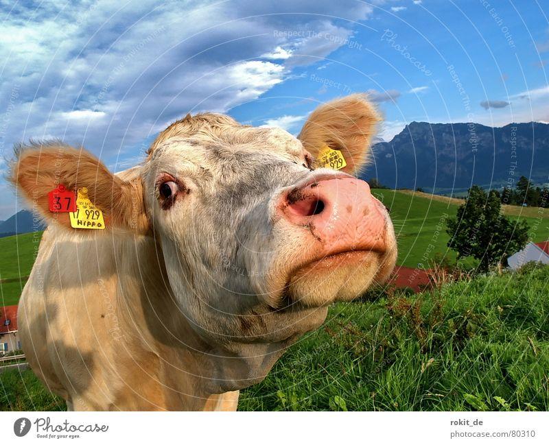 Hey Allter, was guggst du? Himmel weiß grün blau Wolken Auge Wiese Gras Berge u. Gebirge lustig Schilder & Markierungen Tiergesicht Fell Neugier Kuh