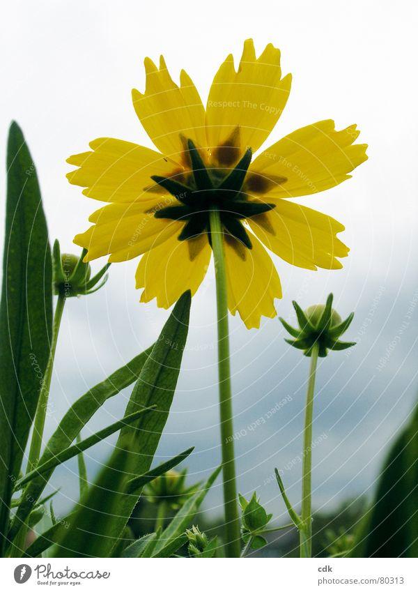 Frühblüher? Natur schön Himmel Blume grün Pflanze Sommer gelb Blüte Gras Beleuchtung Erde Wachstum offen kaputt einfach